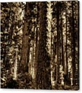 Sequoia Grove Along Crescent Meadow Loop Canvas Print