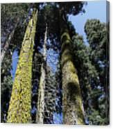 Sequoia National Park Canvas Print