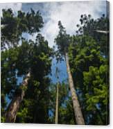 Sequoia Park Redwoods Reaching To The Sky Canvas Print