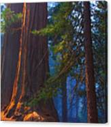 Sequoias On Blue Canvas Print