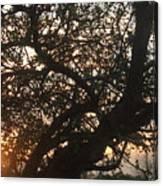 Setting Sun In Tree Canvas Print