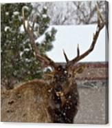 Seven Point Bull Elk Canvas Print