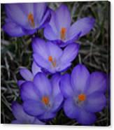 Seven Purple Crocuses Canvas Print