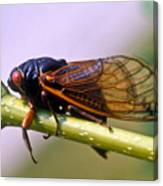 Seventeen Year Cicada Canvas Print