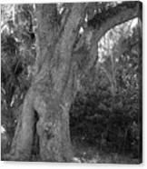 Kingsley Plantation Tree Canvas Print