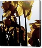 Shadowed Daffodils Canvas Print