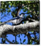 Shadowy Blue Jay Canvas Print