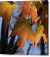 Shadowy Sugar Maple Leaves In Autumn Canvas Print