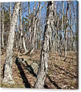 Shagbark Hickory Forest  Canvas Print