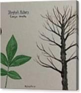 Shagbark Hickory Tree Id Canvas Print