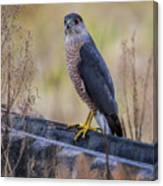 Shakerag Coopers Hawk Canvas Print