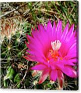 Pincushion Cactus - Coryphantha Vivipara Canvas Print