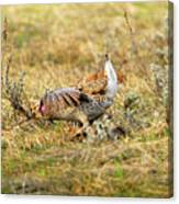 Sharp Tailed Grouse Strutting Canvas Print