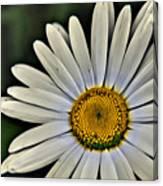 Shasta Daisy Canvas Print