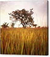 Shea Tree In Field, Near Lira, Uganda Canvas Print
