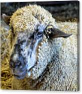 Sheep 1 Canvas Print