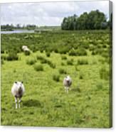 Sheep Animals Canvas Print
