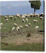 Sheep Country Canvas Print