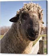 Sheep Face 2 Canvas Print