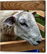 Sheep Four Canvas Print