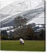 Sheep Grazing Atthe Galtees  Ireland's Tallest Inland Mountains Canvas Print