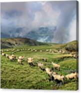 Sheep In Carphatian Mountains Canvas Print