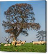 Sheep In Somerset Canvas Print
