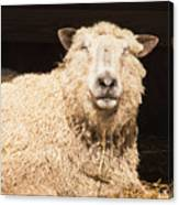 Sheep In Stable 2 Canvas Print