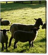 Sheep In The Sunlight Canvas Print