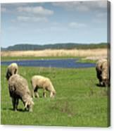 Sheep On Pasture Nature Farm Scene Canvas Print