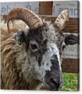 Sheep One Canvas Print