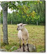 Happy Sheep Posing For Her Photo Canvas Print