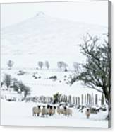 Sheep Shelter  Canvas Print