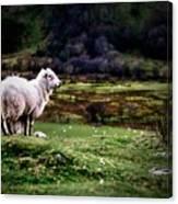 Sheep View Canvas Print