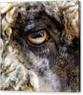Sheep's Eye Canvas Print