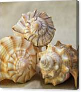 Shell Still Life Canvas Print