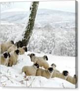 Sheltering Flock Canvas Print