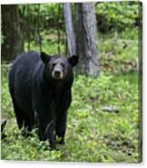 Shenandoah Black Bear Canvas Print