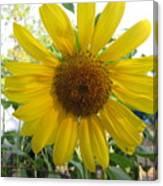 Shine Sunflower Shine Canvas Print