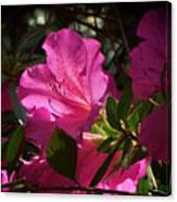 Shining Azalea Canvas Print