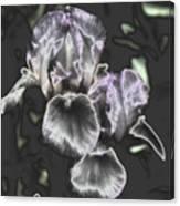 Shiny Irises Canvas Print