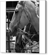 Show Horses Canvas Print
