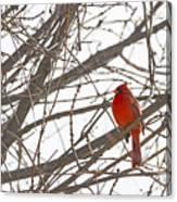 Showing His Colours - Northern Cardinal - Cardinalis Cardinalis Canvas Print