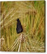 Showing The Dark Side. European Peacock On Barley Canvas Print