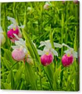 Showy Lady's Slipper Orchids Canvas Print