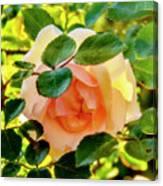 Shy Rose Canvas Print