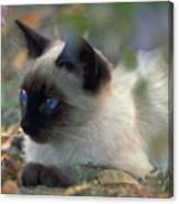Siamese Cat Hiding Canvas Print