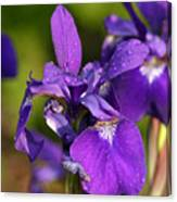 Siberian Iris After Rain Canvas Print