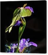Siberian Iris And Luna Moth Canvas Print