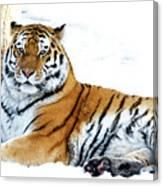 Siberian Tiger Amur Tiger Canvas Print